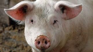 Powiat oświęcimski zagrożony wystąpieniem afrykańskiego pomoru świń