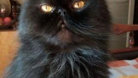 Zaginął czarny perski kot