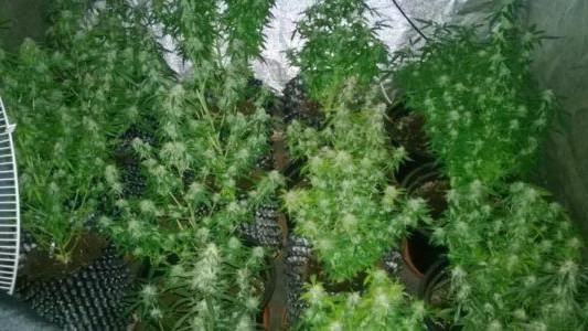 15 krzewów konopi indyjskich w Chełmku