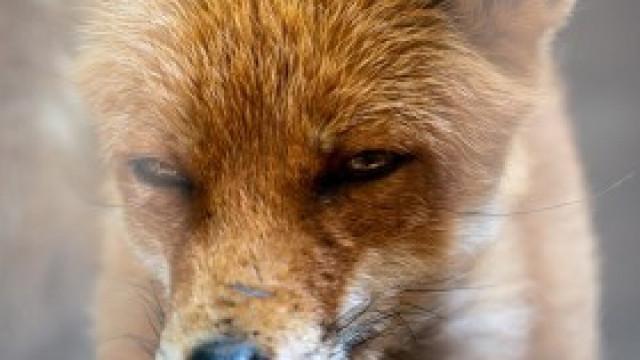 7 maja rozpoczyna się akcja ochronnego szczepienia lisów przeciwko wściekliźnie