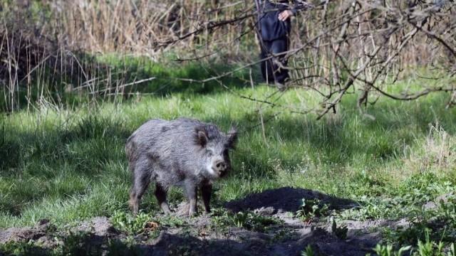 Dziki grasują w centrum Chrzanowa. Mieszkańcy boją się wychodzić z domów. Nie łatwo będzie pozbyć się zwierząt