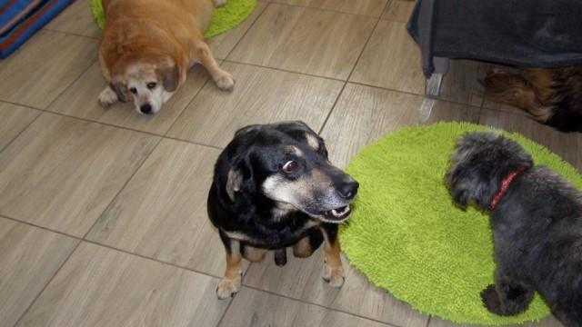 Głuchy i niewidzący psi senior dzięki pomocy trafił do domu