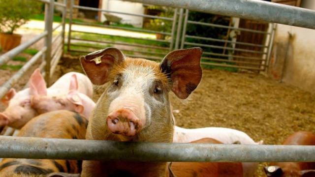 Jak pomóc hodowcom trzody chlewnej w starciu z ASF? Radzi Powiatowy Lekarz Weterynarii w Oświęcimiu