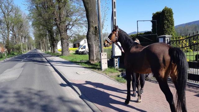 Koń na krajówce. Zwierzę uciekło z zagrody