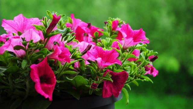 Podarujecie kwiaty pani Irenie?