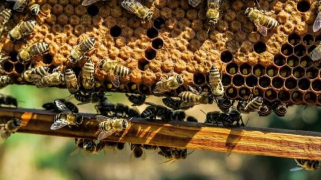 Pszczoły na wagę złota
