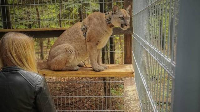 Puma z Ogrodzieńca odnaleziona. Jest w ZOO w Chorzowie