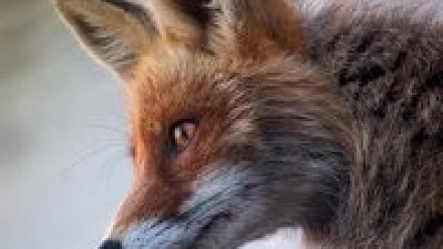 Szczepienie lisów wolno żyjących przeciw wściekliźnie