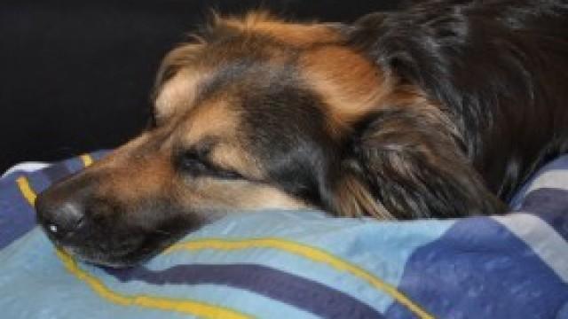 Szczepienie psów przeciwko wściekliźnie