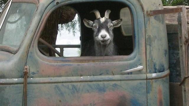 W trzyosobowym samochodzie przewoził kozę i sześcioro pasażerów