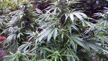 Zaborze. Kolejna leśna uprawa marihuany zlikwidowana przez policjantów