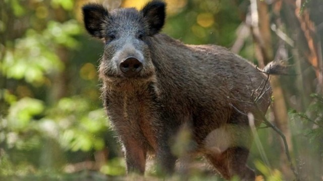 Zagrożenie wystąpieniem afrykańskiego pomoru świń w powiecie