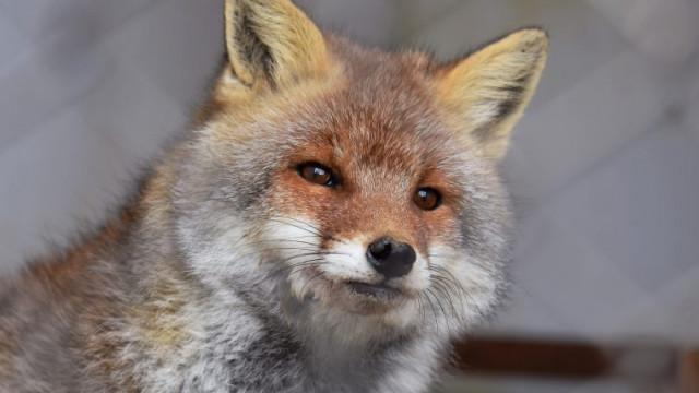 Zbliża się termin szczepienia lisów wolno żyjących przeciwko wściekliźnie