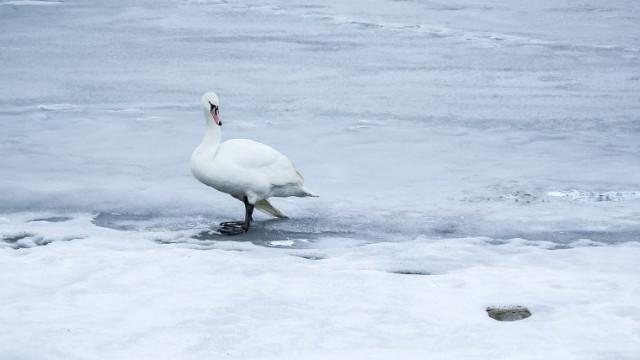 Zjadliwa grypa ptaków. Najbardziej podatne na zachorowanie kaczki, łabędzie i gęsi.