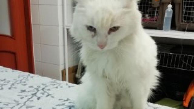 Znaleziono piękną kotkę. Czeka na właściciela w przychodni weterynaryjnej Open Vet w Kętach